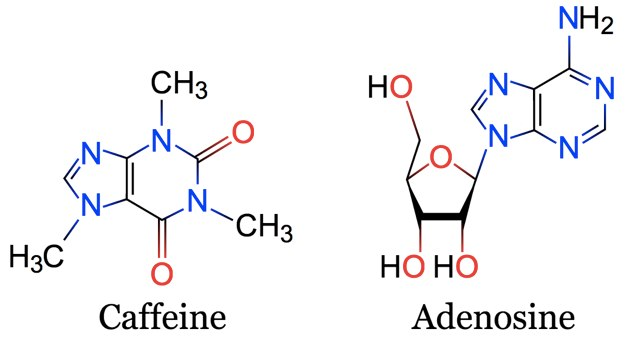 Caffeine and Adenosine